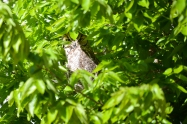 An adult Great Horned Owl observes the Westside campus courtyard.